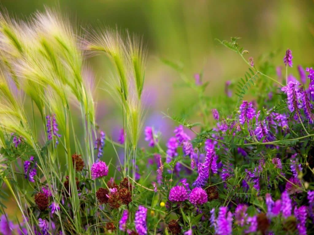 Травы луговые